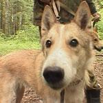 Аттестация охотничьих собак