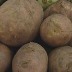 В Пермском крае собрали небывалый урожай картофеля