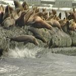 Сивучи - природный зоопарк на Сахалине