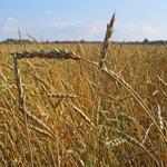 Минсельхоз оценил последствия засухи